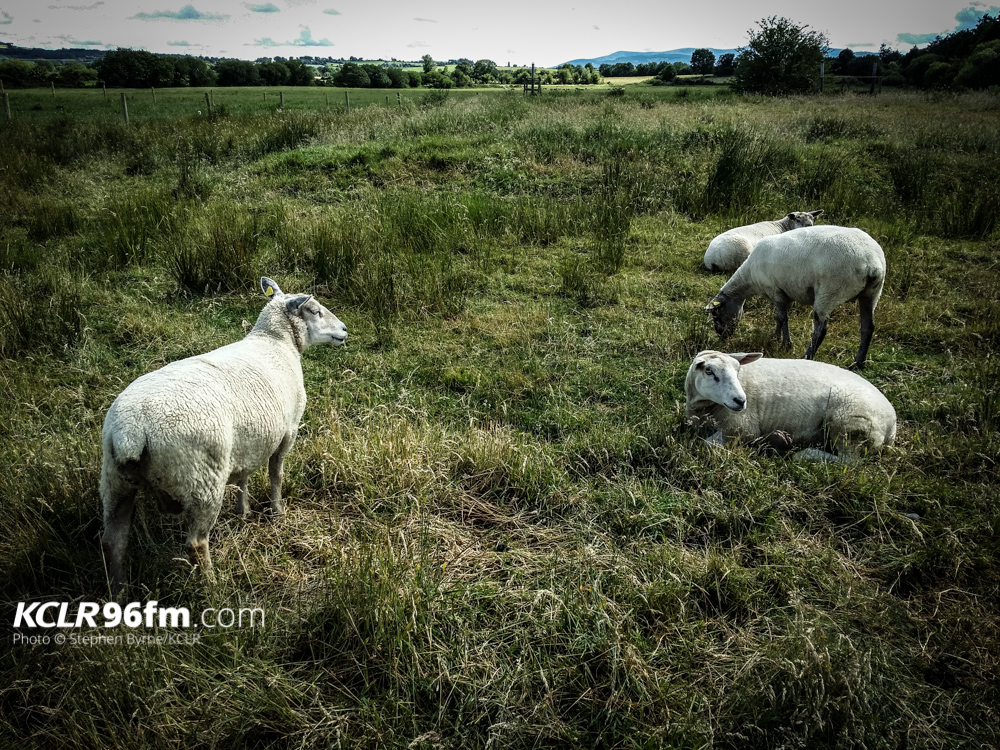 File Photo of Sheep. Pic - Stephen Byrne/KCLR