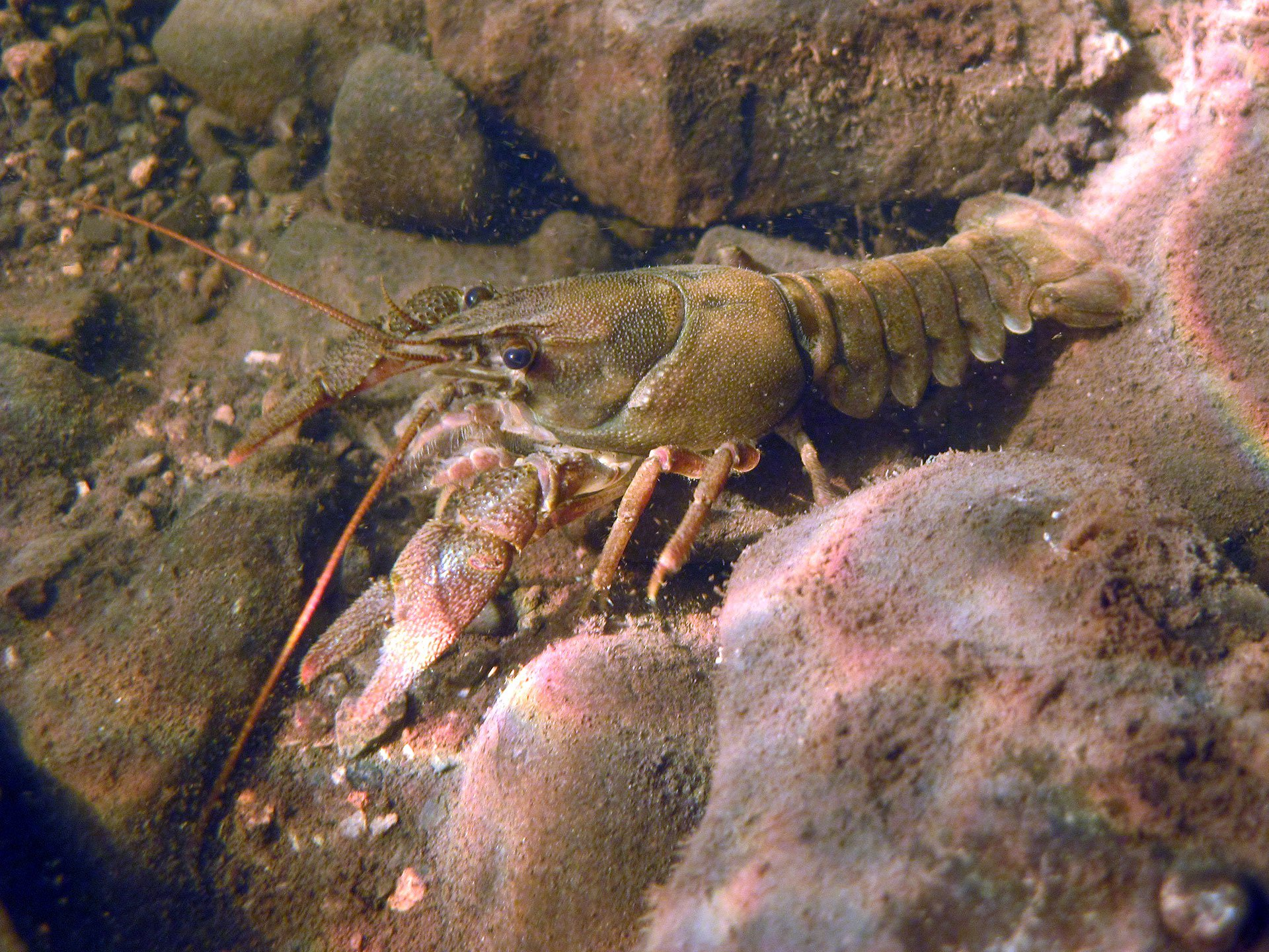 Warning for local fishermen as crayfish plague confirmed ...