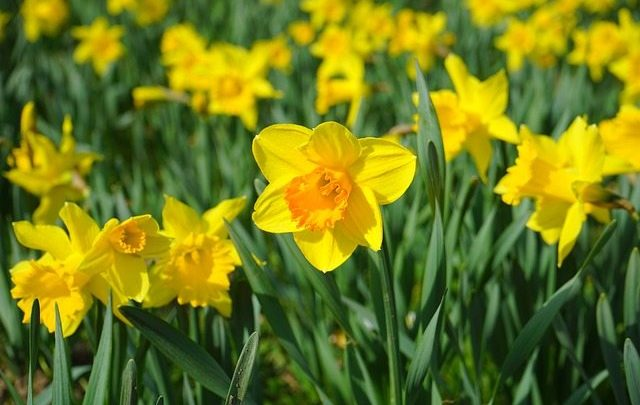 Daffodil Day: Limerick urged to support Irish Cancer Society