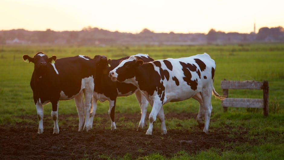 Cows in a field. File photo.