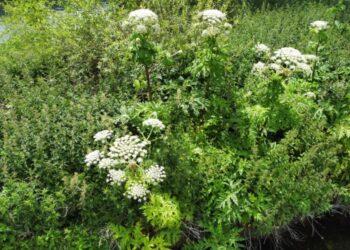 Image giant hogweed by CarlowWeather.com